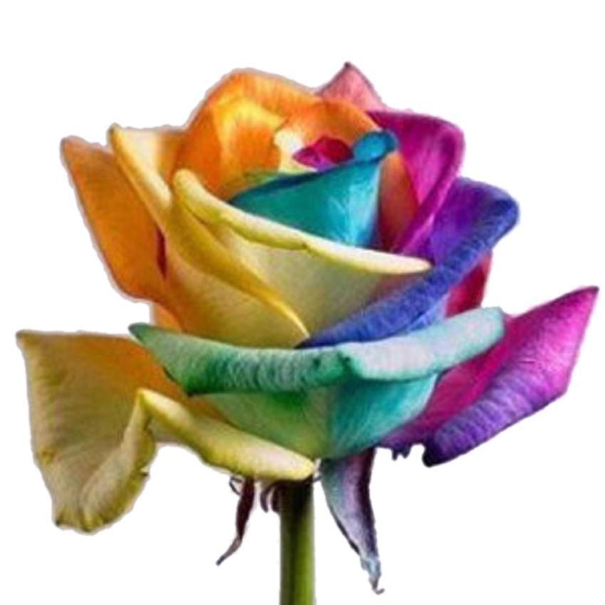 100 seeds rare holland rainbow rose flower lover multi for Rainbow flower seeds