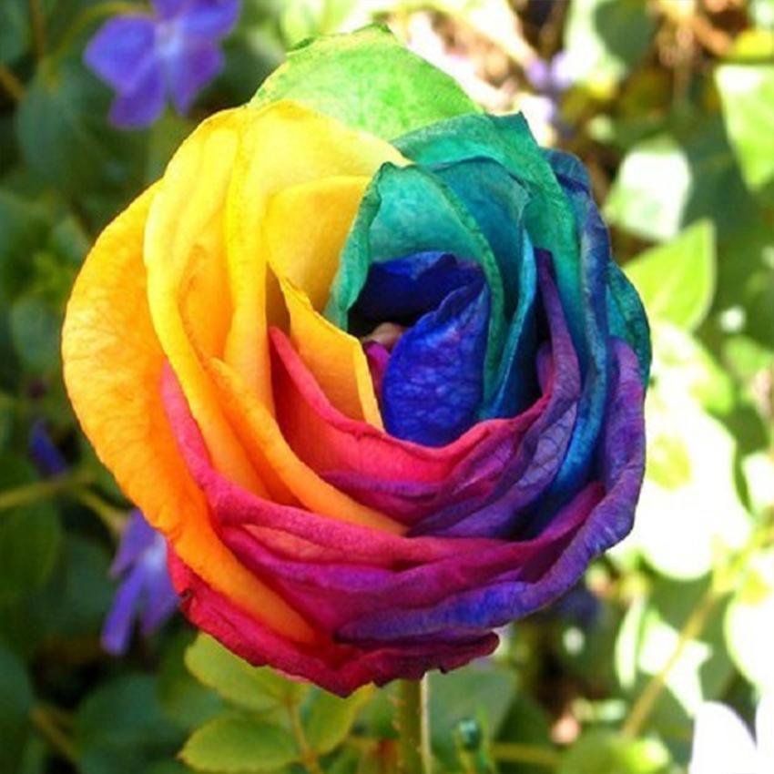 100 seeds rare holland rainbow rose flower lover multi for Holland rainbow rose seeds